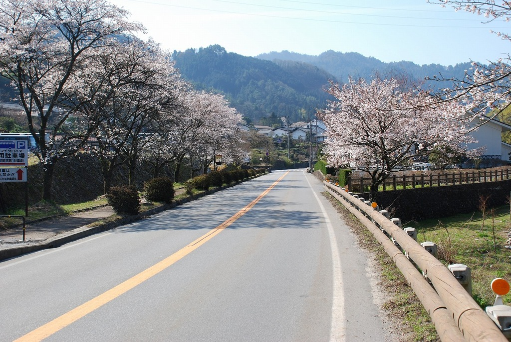 Cherry blossoms along the walkway by Tsumago Parking Lot No.1